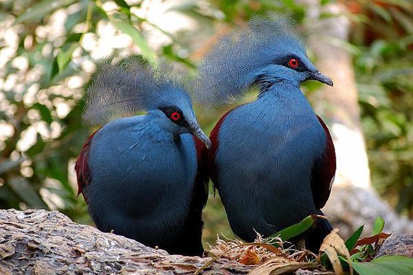 Gambar Burung Puyuh Mahkota