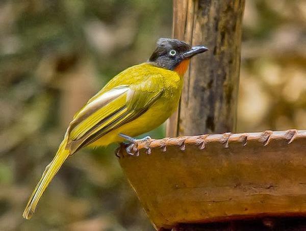 Gambar Burung Kutilang Emas Gacor