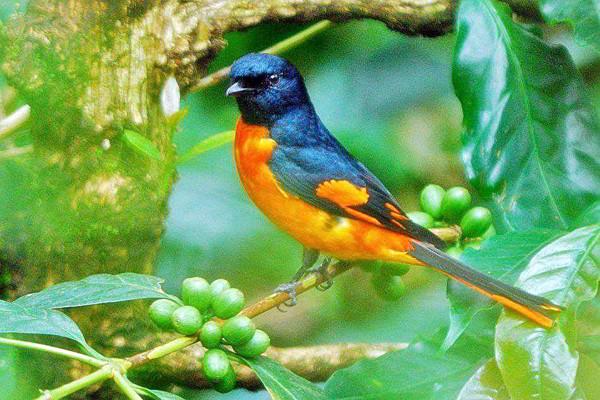 Gambart Burung Mantenan Hutan