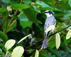 Burung Mantenan Hutan