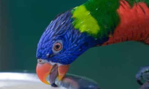 Gambar Bubur Buatan untuk Burung Nuri