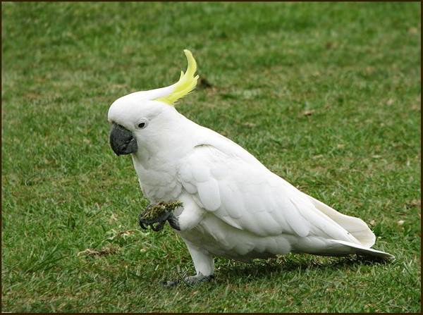 Unduh 54  Gambar Burung Kakak Tua Dari Biji Bijian HD Terbaik Gratis