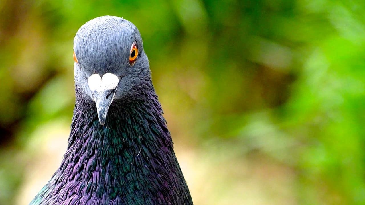 Gambar Burung Merpati Keren