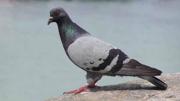 Gambar Pakan Burung Merpati