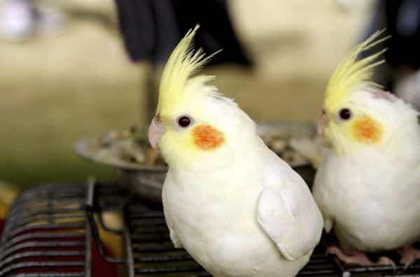 Rekomendasi Makanan Burung Parkit Agar Gacor Hargaburung Id