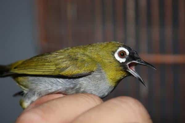 Gambar Burung Pleci Black Capperd
