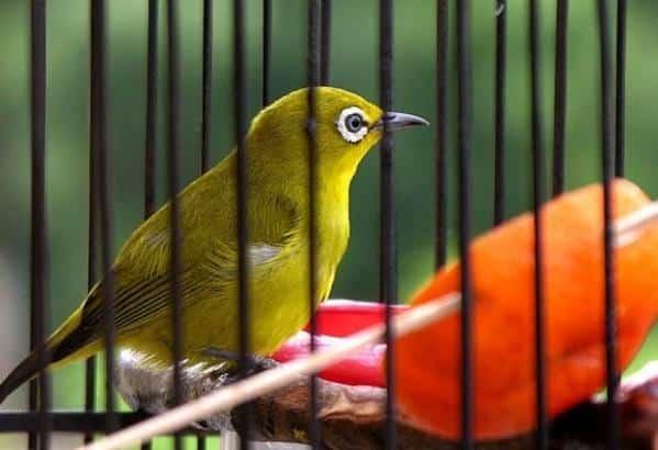 Gambar Burung Pleci Dakun Maput