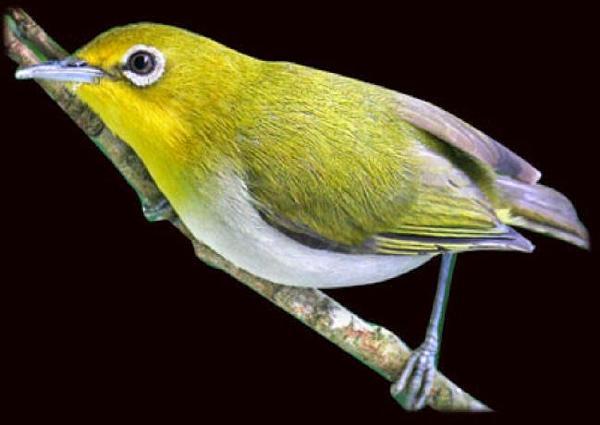 Gambar Burung Pleci Montanus