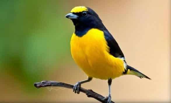Gambar Burung Sirtu Betina