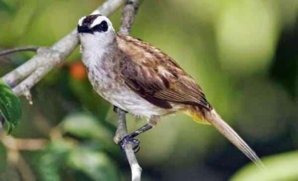 Gambar Burung Trucukan Gacor