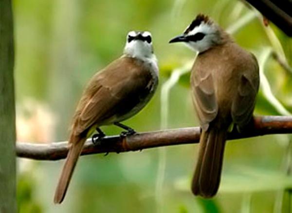 Gambar Burung Trucukan Jantan dan Betina