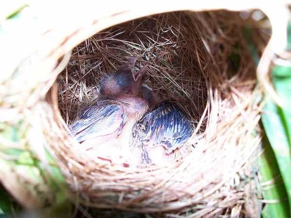 Anakan Burung Manyar
