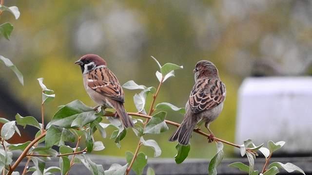 Download 88+  Gambar Burung Gereja Jantan  Paling Bagus Gratis