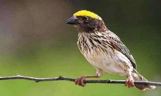 Gambar Burung Manyar