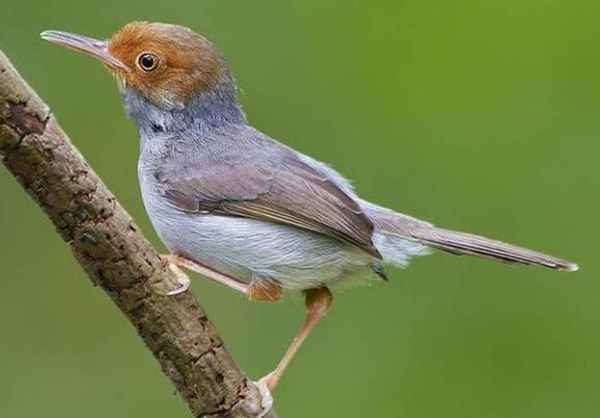 Gambar Burung Prenjak