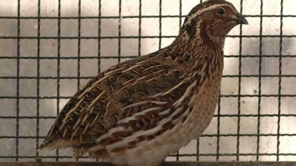 Gambar Burung Puyuh