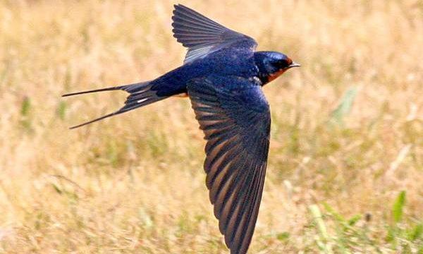 Gambar Burung Walet Terbang