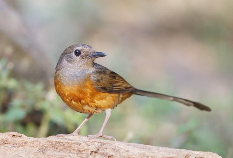 Jenis Burung Murai Batu yang Bagus