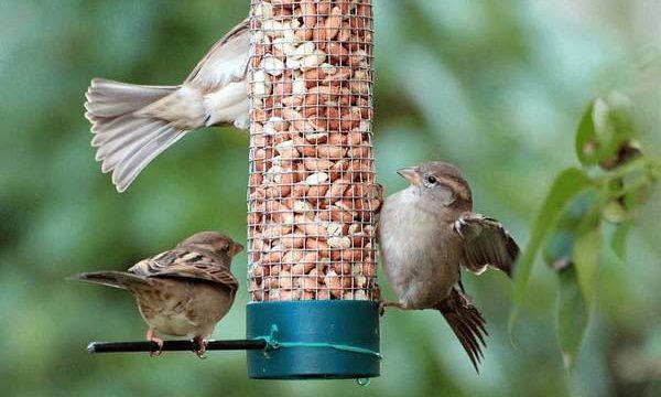 Makanan Burung Gereja