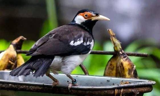 Makanan Burung Jalak