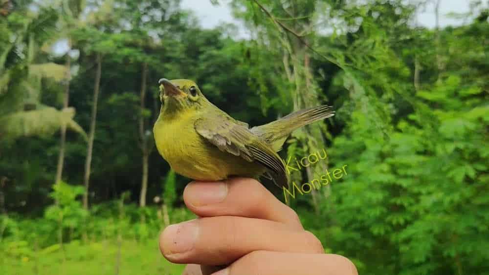 Foto Burung Kolibri Kelapa