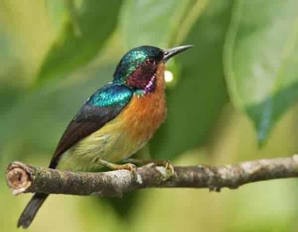 Foto Burung Kolibri Manggar