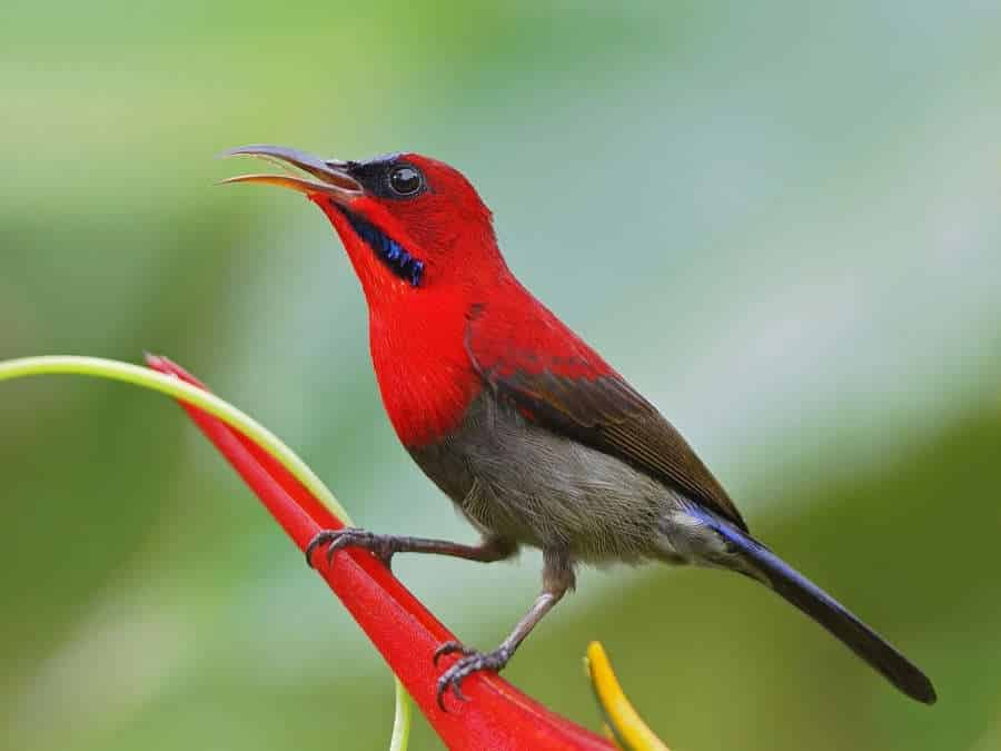 Foto Burung Kolibri Raja