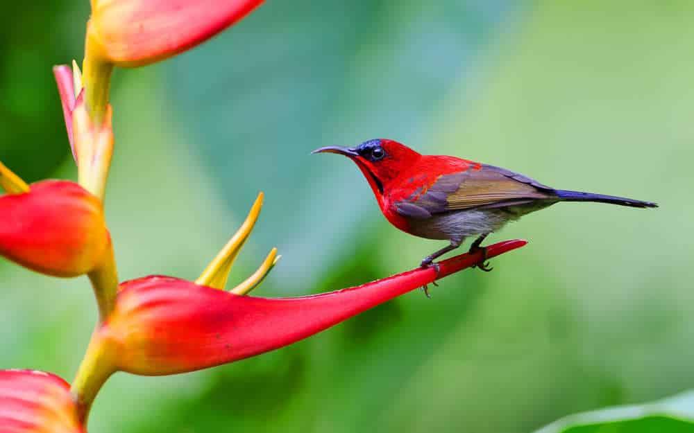 Foto Burung Kolibri Sepah Raja