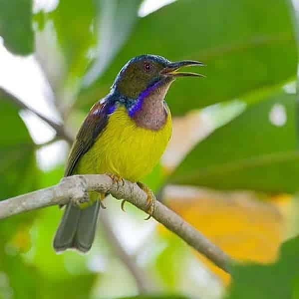 Foto Burung Kolibri Wulung