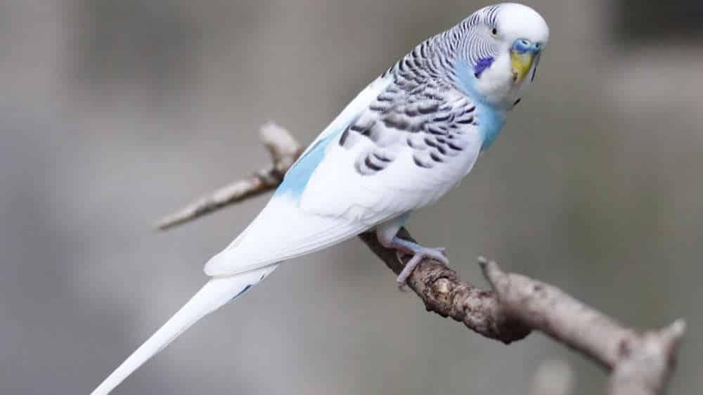 Foto Burung Parkit Holland