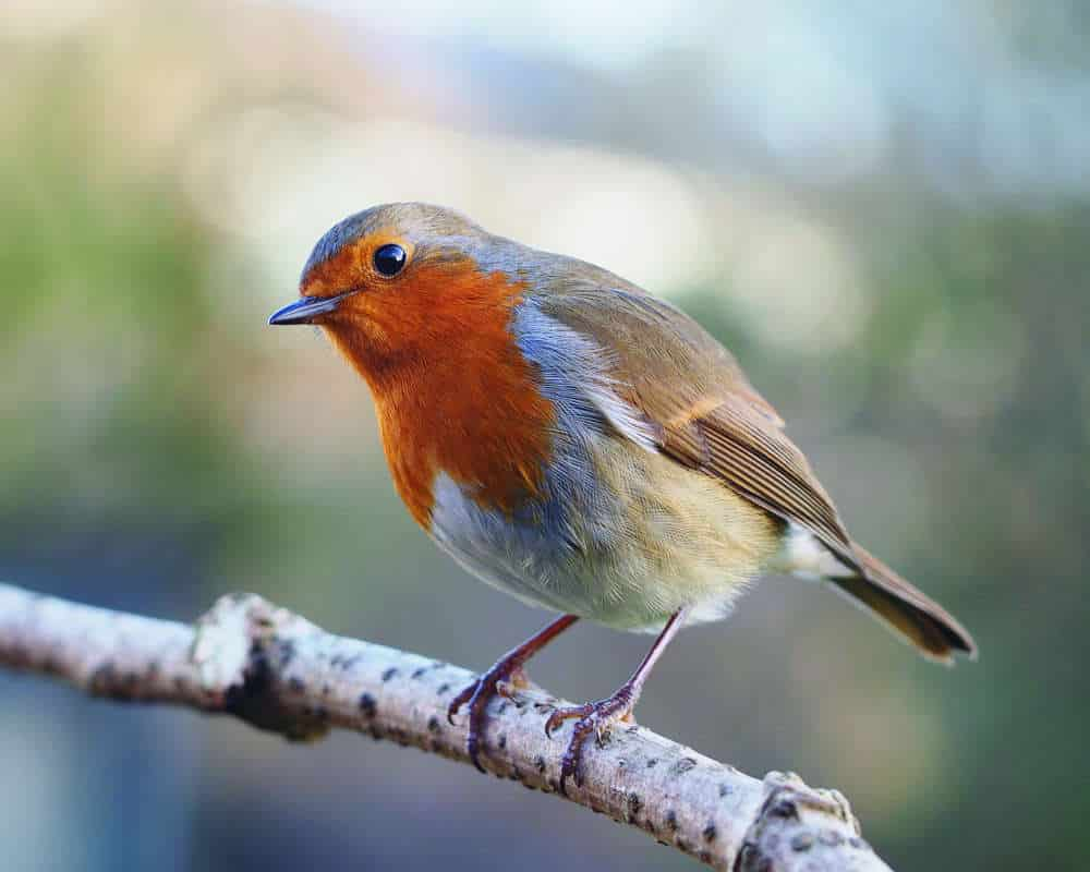 Foto Burung Robin Bahan