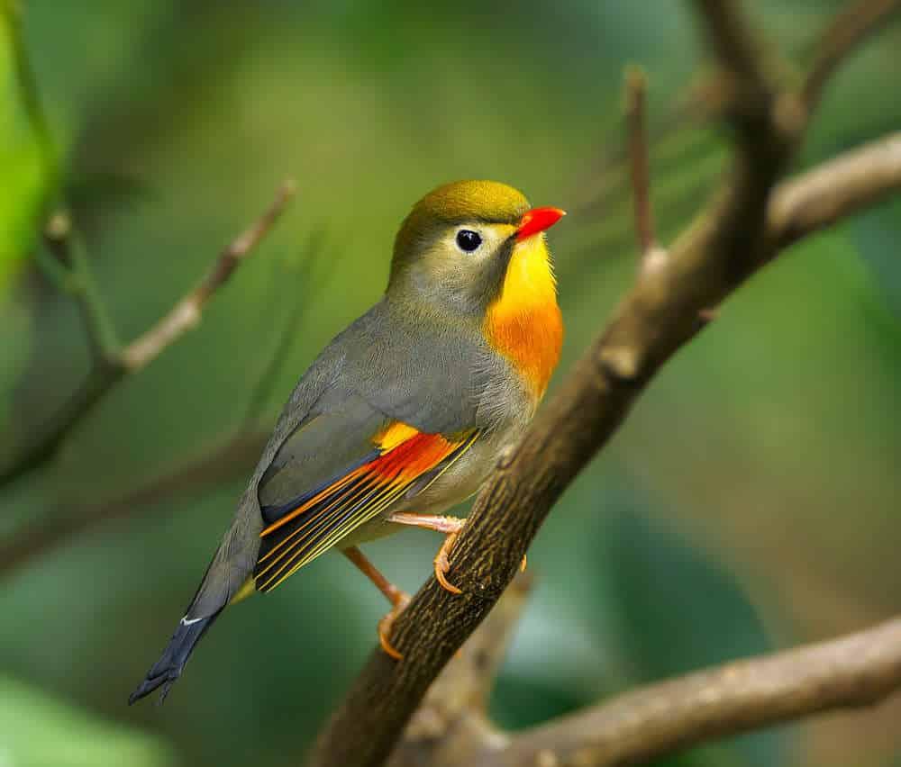 Foto Burung Robin Gacor
