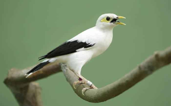 Gambar-Burung-Jalak-Putih-pinterest.com_