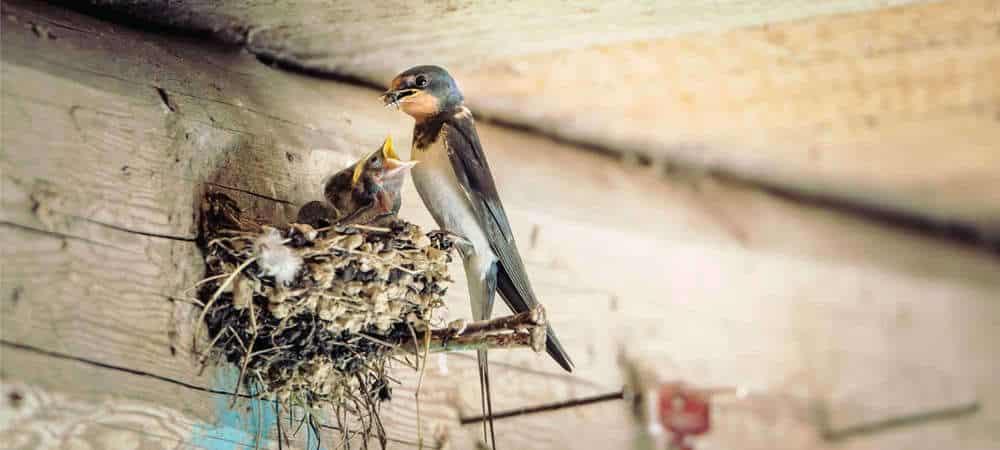 Burung Walet Membuat Sarang