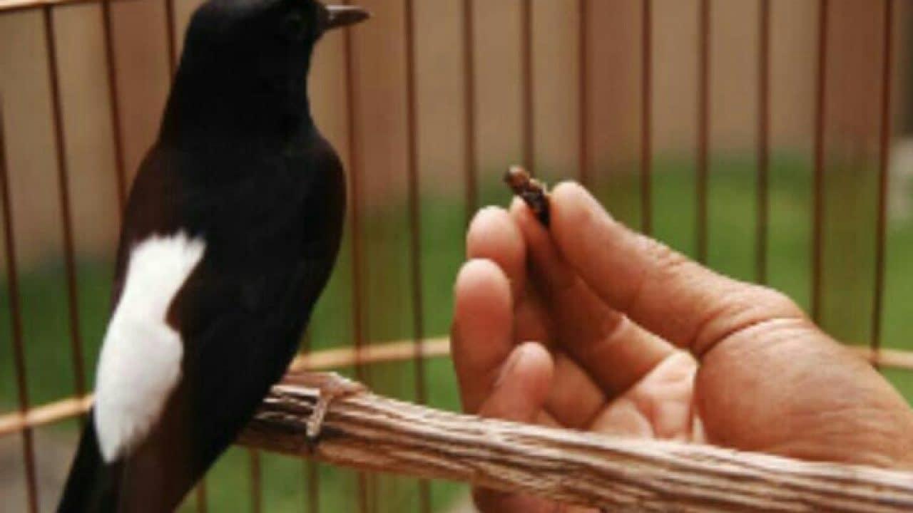 Burung Makan Jangkrik Pakai Tangan