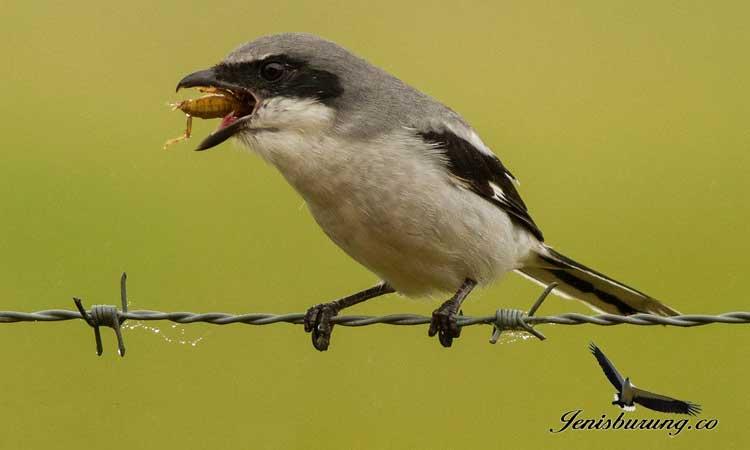 Burung Makan Jangkrik