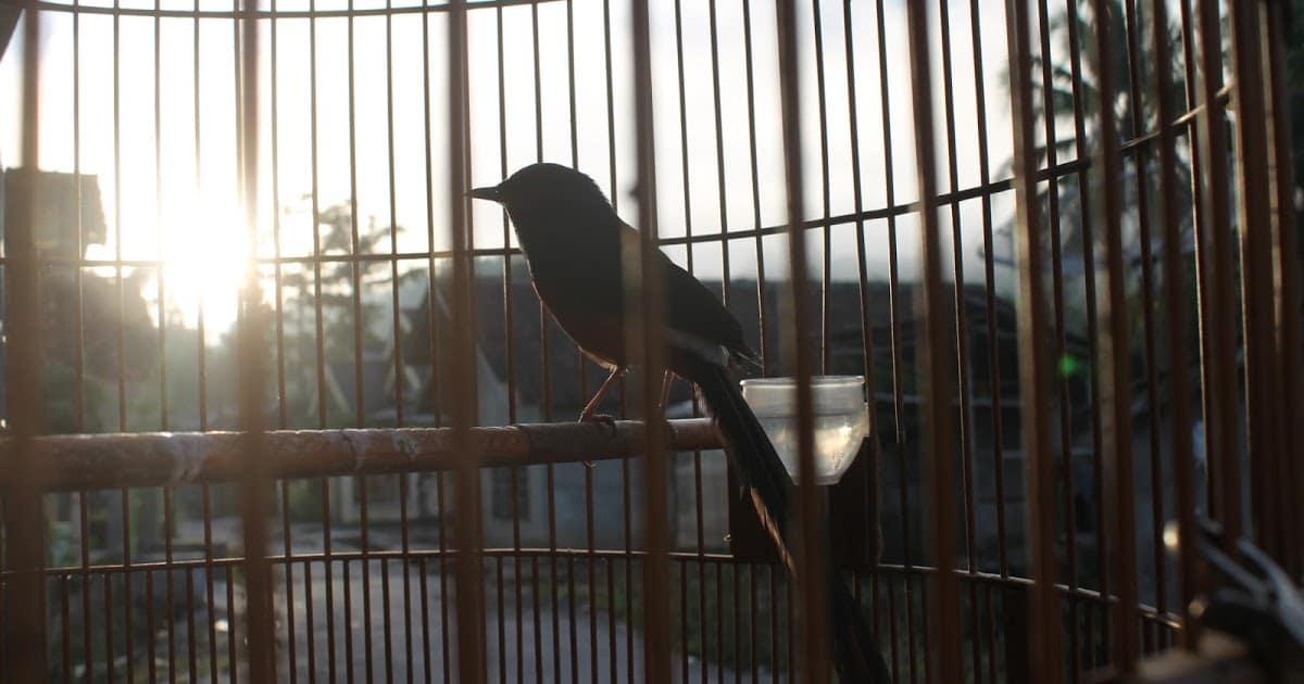 Burung Murai Batu Gantangan di Rumah