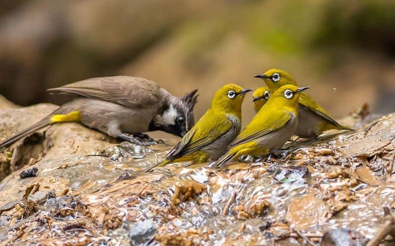 Burung Pleci Liar