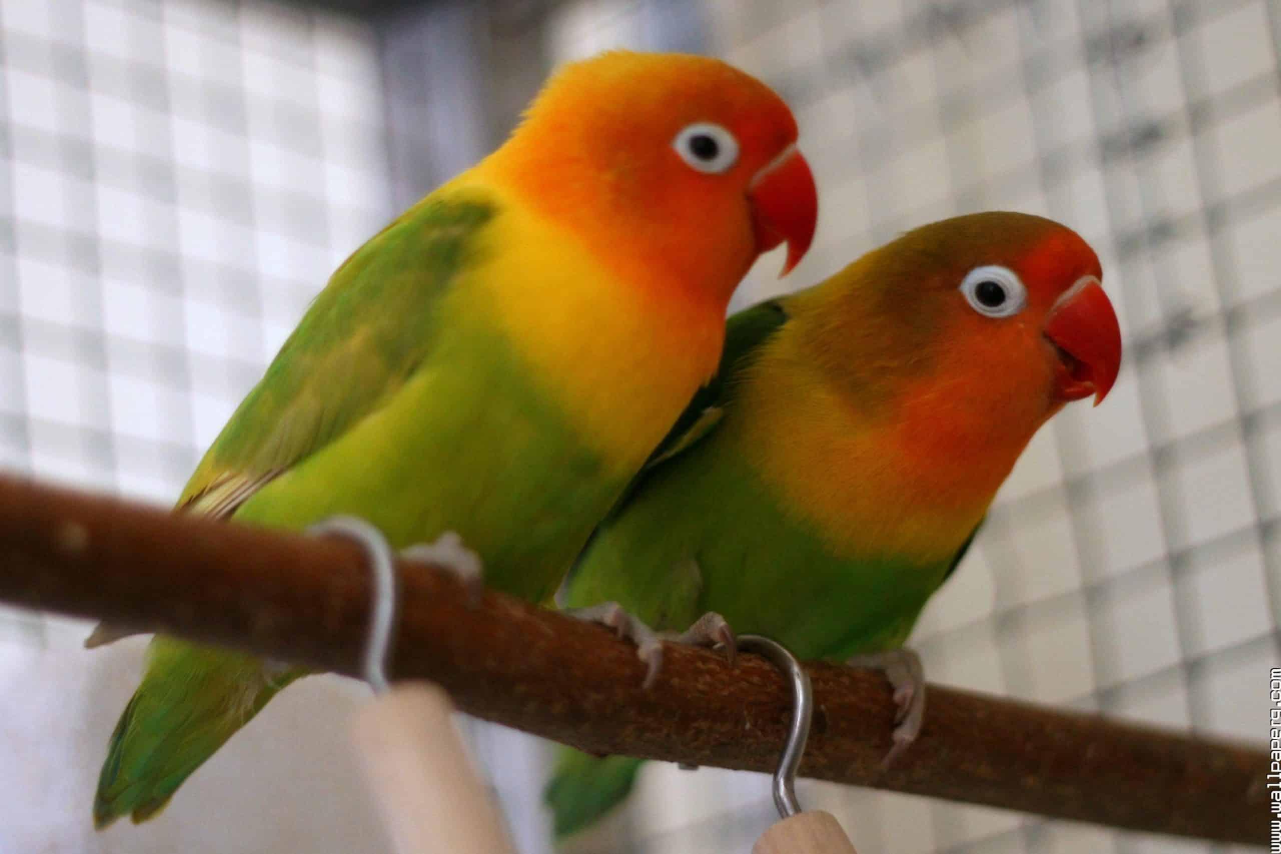 Foto Burung Lovebird