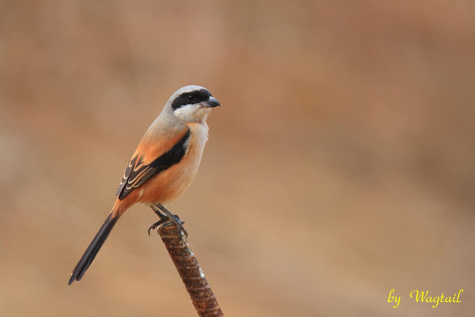 Gambar Burung Pentet/Cendet