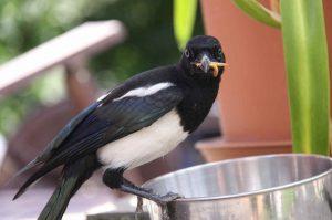 Ulat Makanan Burung Murai Batu